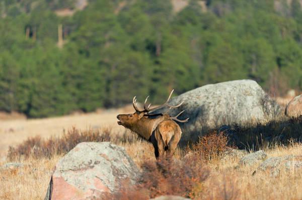 Elk Herd Photograph - Bugling Bull Elk  by Gary Langley