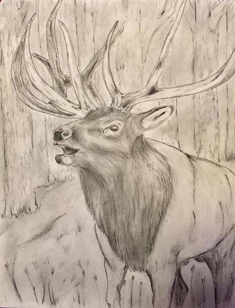 Bugling Drawing - Bugling Bull by Robert Polley