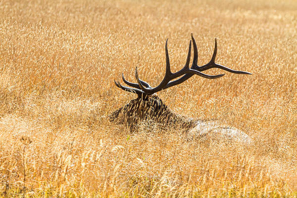 Photograph - Bull Elk Bedded Down by James BO Insogna