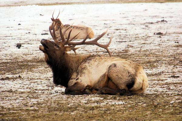 Wapiti Photograph - Bull Elk Calls Out by Jeff Swan