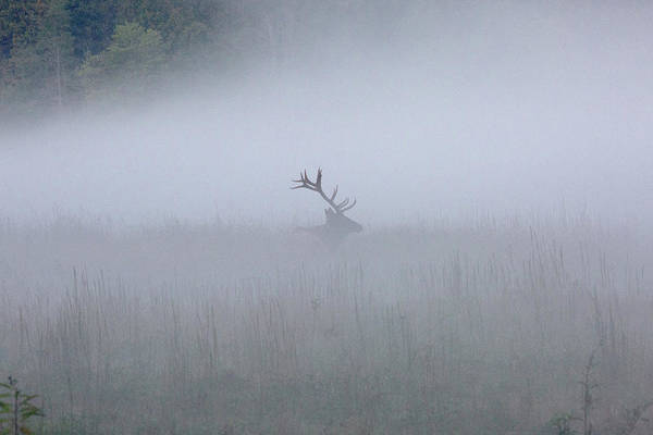 Bull Elk In Fog - September 30, 2016 Art Print