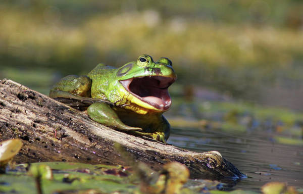 Bull Frog Photograph - Bull Frog by Mircea Costina Photography