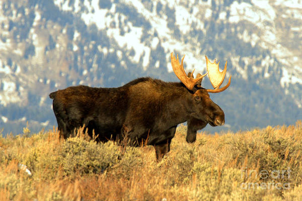 Photograph - Bull In The Teton Golden Fields by Adam Jewell