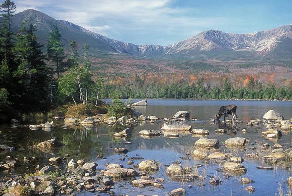 Baxter State Park Photograph - Bull Moose Feeding In Sandy Stream Pond by John Burk
