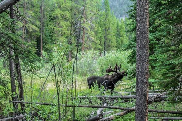 Photograph - Bull Moose Foraging by NaturesPix