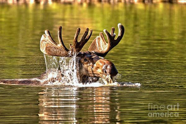 Photograph - Bull Moose Mouthful by Adam Jewell