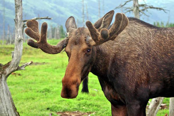 Wall Art - Photograph - Bull Moose by Scott Mahon