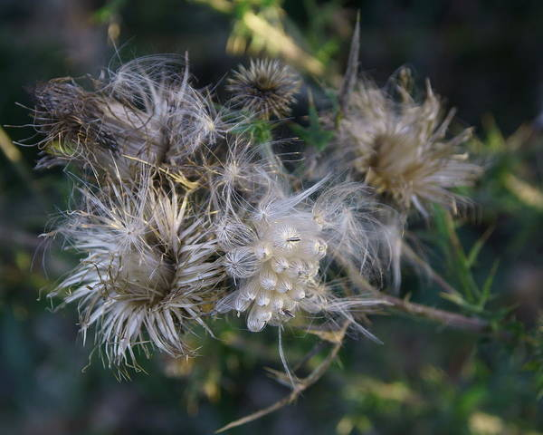 Photograph - Bull Thistle 1 by Dimitry Papkov