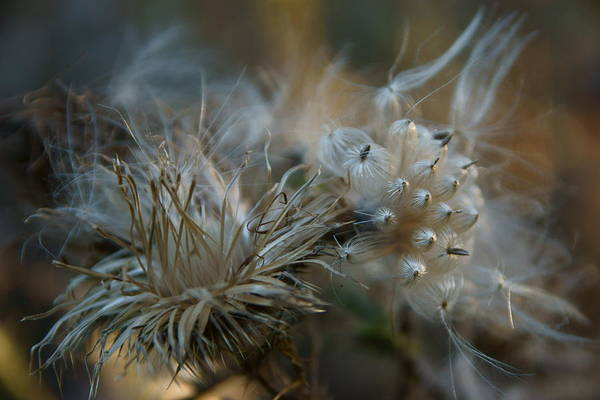 Photograph - Bull Thistle 2 by Dimitry Papkov