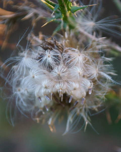 Photograph - Bull Thistle 3 by Dimitry Papkov