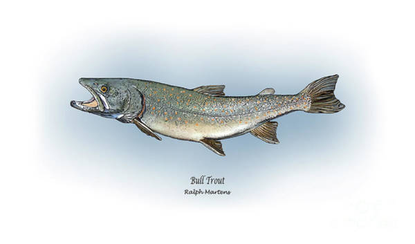 Angling Art Wall Art - Painting - Bull Trout by Ralph Martens