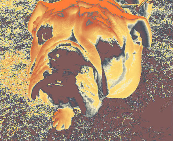 Photograph - Bulldog #1 by Anne Westlund