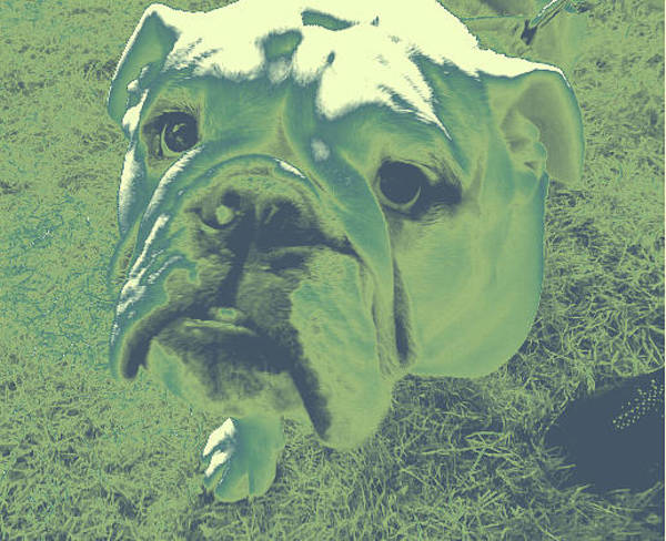 Photograph - Bulldog #5 by Anne Westlund