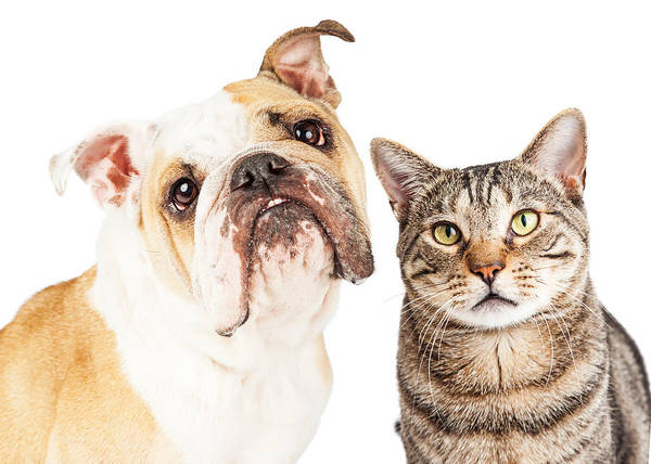 Wall Art - Photograph - Bulldog And Tabby Cat Close-up by Susan Schmitz