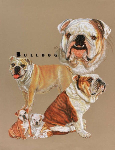 Drawing - Bulldog by Barbara Keith