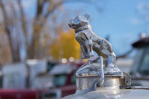 Photograph - Bulldog by Guy Whiteley