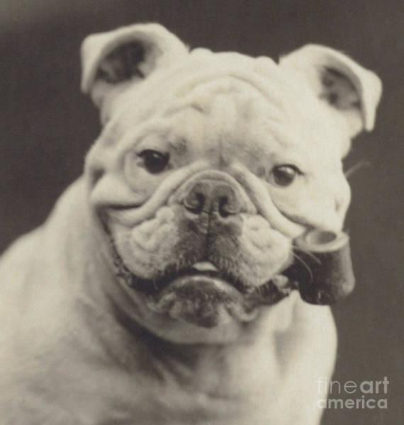 Wall Art - Photograph - Bulldog Smoking A Pipe by English School