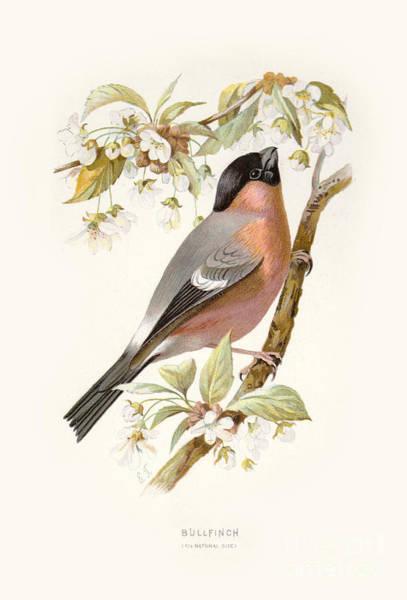 Digital Art - Bullfinch Restored by Pablo Avanzini