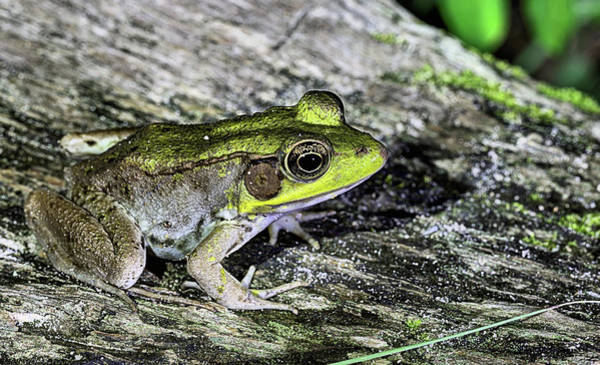Photograph - Bullfrog by JC Findley