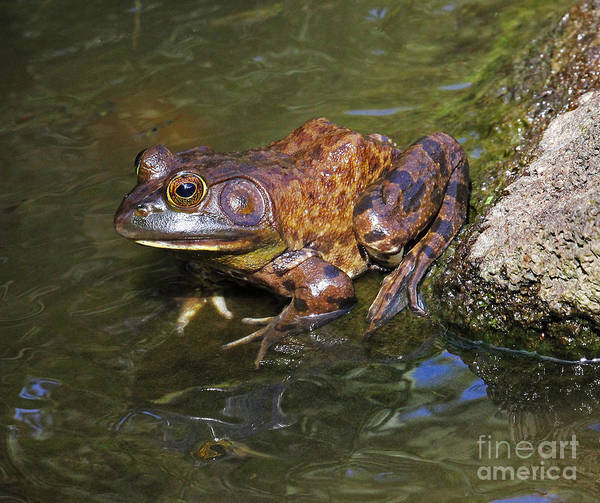 Photograph - Bullfrog Rana by Jennifer Robin
