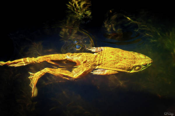 Photograph - Bullfrog Swimming In A Pond by Dee Browning