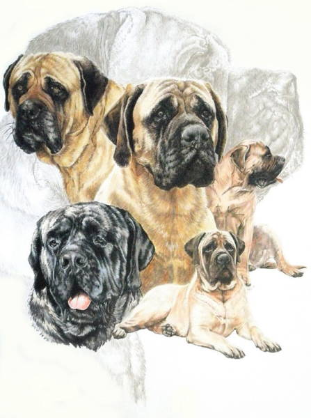 Drawing - Bullmastiff Revamp by Barbara Keith