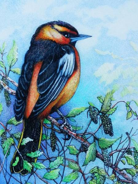 Oriole Drawing - Bullock's Oriole by Catherine Robertson