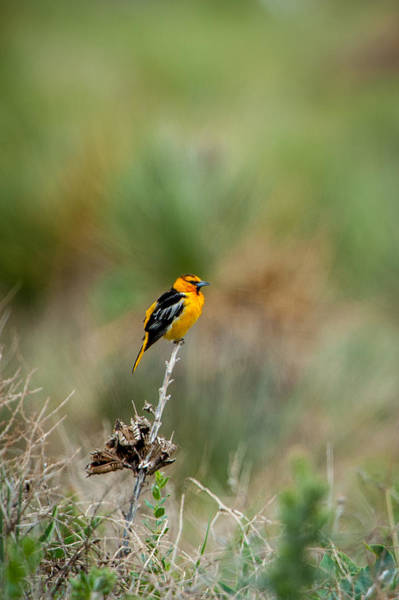Photograph - Bullock's Oriole by Jeff Phillippi