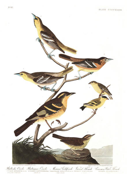 Wall Art - Painting - Bullock's Oriole by John James Audubon