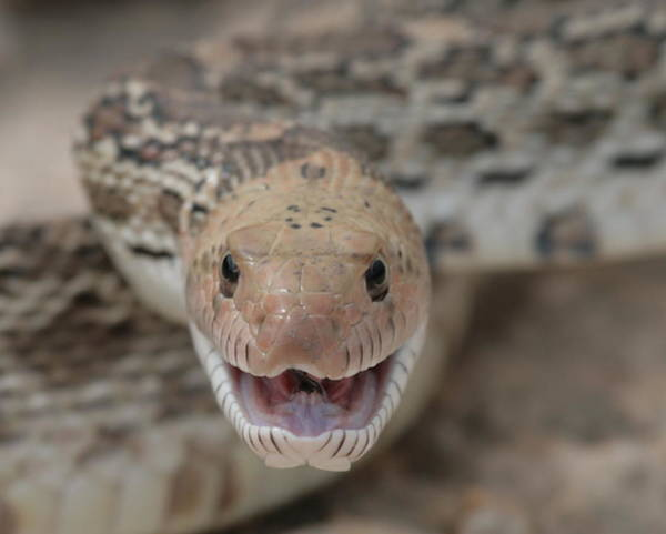Wall Art - Photograph - Bullsnake by George Gries
