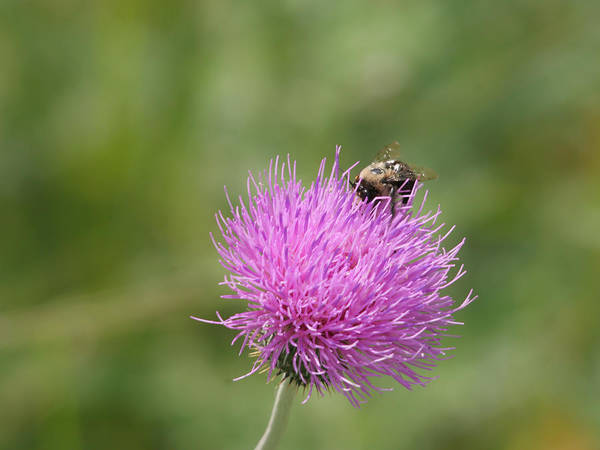 Photograph - Bumble And Texas Thistle by Charles McKelroy