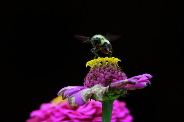 Wall Art - Photograph - Bumble Bee 7626 by Michael Peychich