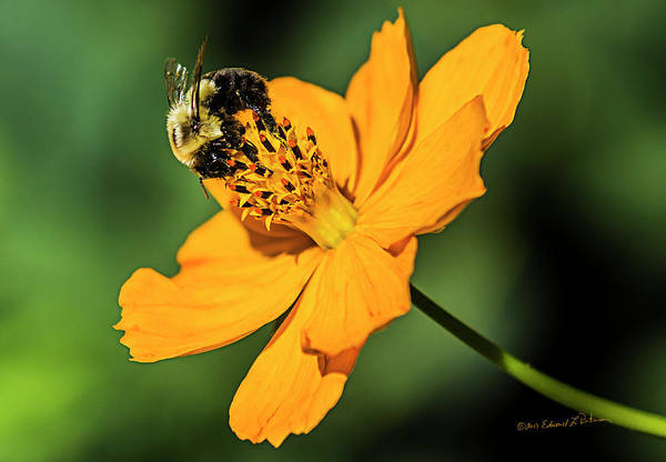 Photograph - Bumble Bee And Flower by Edward Peterson