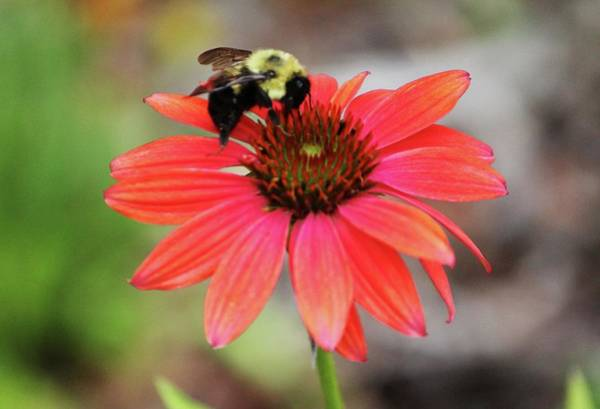 Photograph - Bumble Bee On Coneflower by Cynthia Guinn
