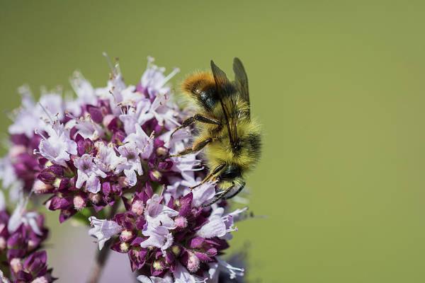 Photograph - Bumble Bee On Oregano by Robert Potts