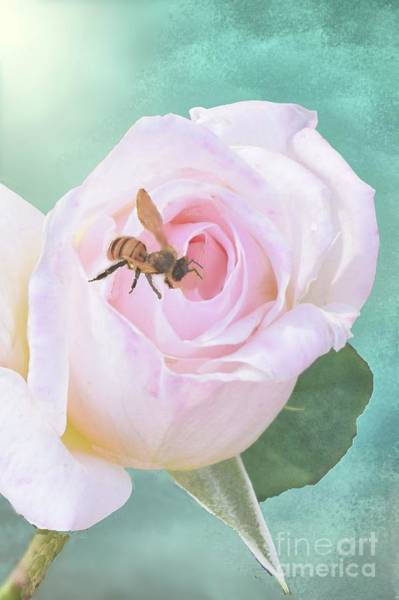 Tulsa Digital Art - Bumble Bee On Pastel Pink Rose by Janette Boyd