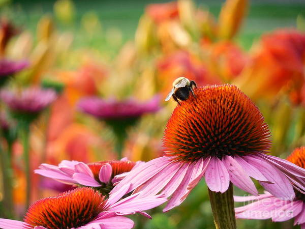 Rowena Photograph - Bumble Bee On Purple Coneflower Horizontal by Rowena Throckmorton