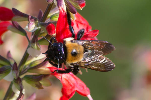 Photograph - Bumble Bee by Willard Killough III