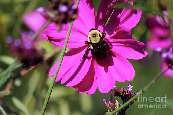 Photograph - Bumblebee Cosmos by Karen Adams