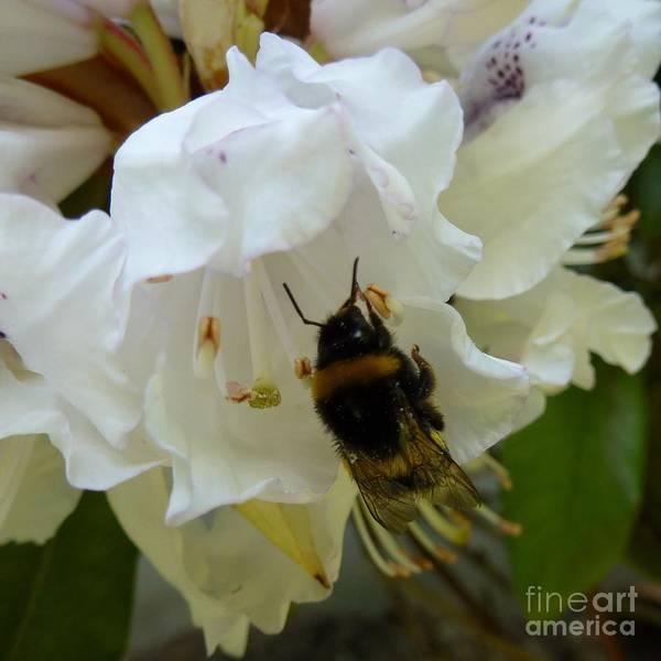 Photograph - Bumblebee by Jean Bernard Roussilhe