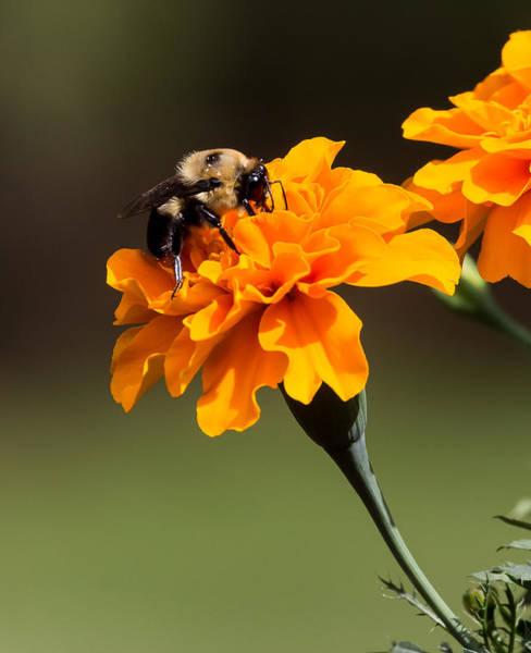 Photograph - Bumblebee by Michael Chatt