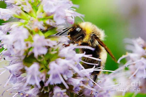 Photograph - Bumblebee On A Violet Flower  by Nick  Biemans