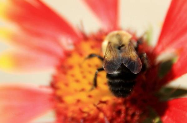Wall Art - Photograph - Bumblebee On Blanket Flower by Chris Berry