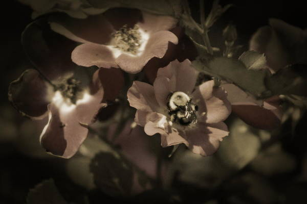 Photograph - Bumblebee On Blush Country Rose In Sepia Tones by Colleen Cornelius