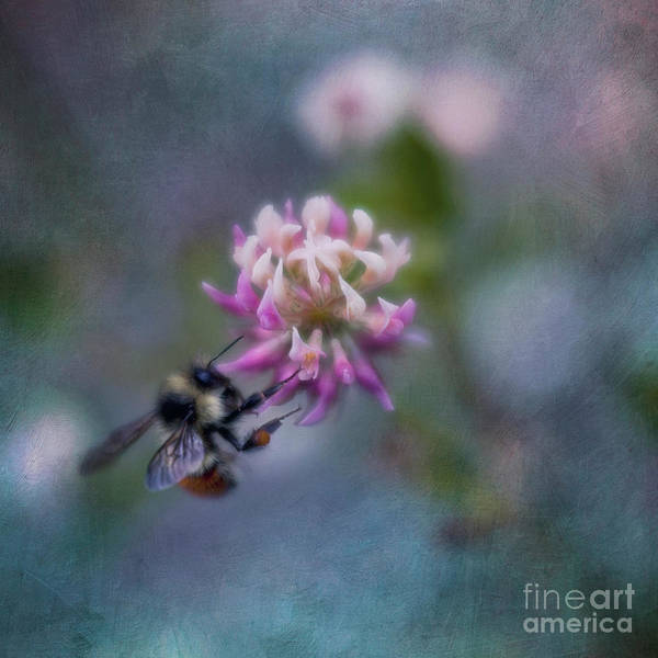 Bee Photograph - Bumblebee On Clover Blossom by Priska Wettstein