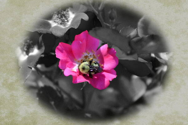 Photograph - Bumblebee On Deep Cerise Pink Country Rose by Colleen Cornelius