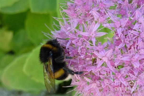 Photograph - Bumblebee On Mauve Flowers by Jean Bernard Roussilhe