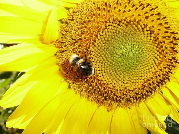 Photograph - Bumblebee On Sunflower by Jean Bernard Roussilhe