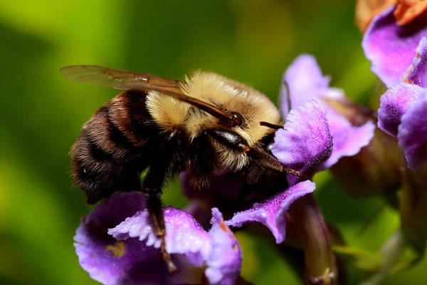 Photograph - Bumblebee by Roberto Aloi