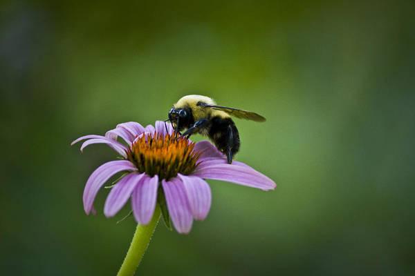 Bee Hive Photograph - Bumblebee by Teresa Mucha